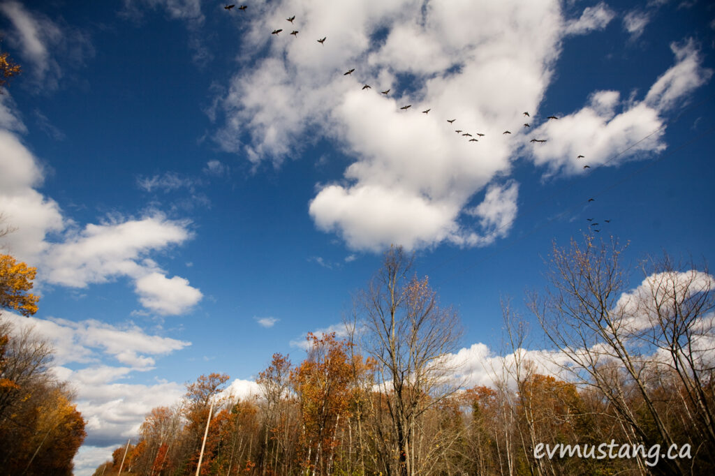 image of flock of Canada geese in a blue sky in fall