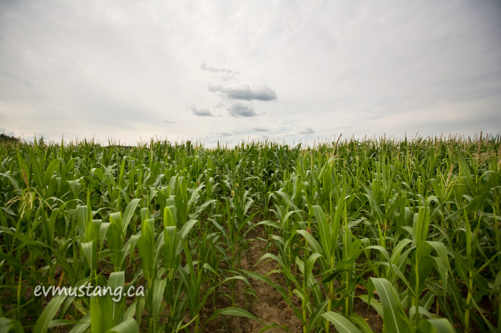 image of corn field