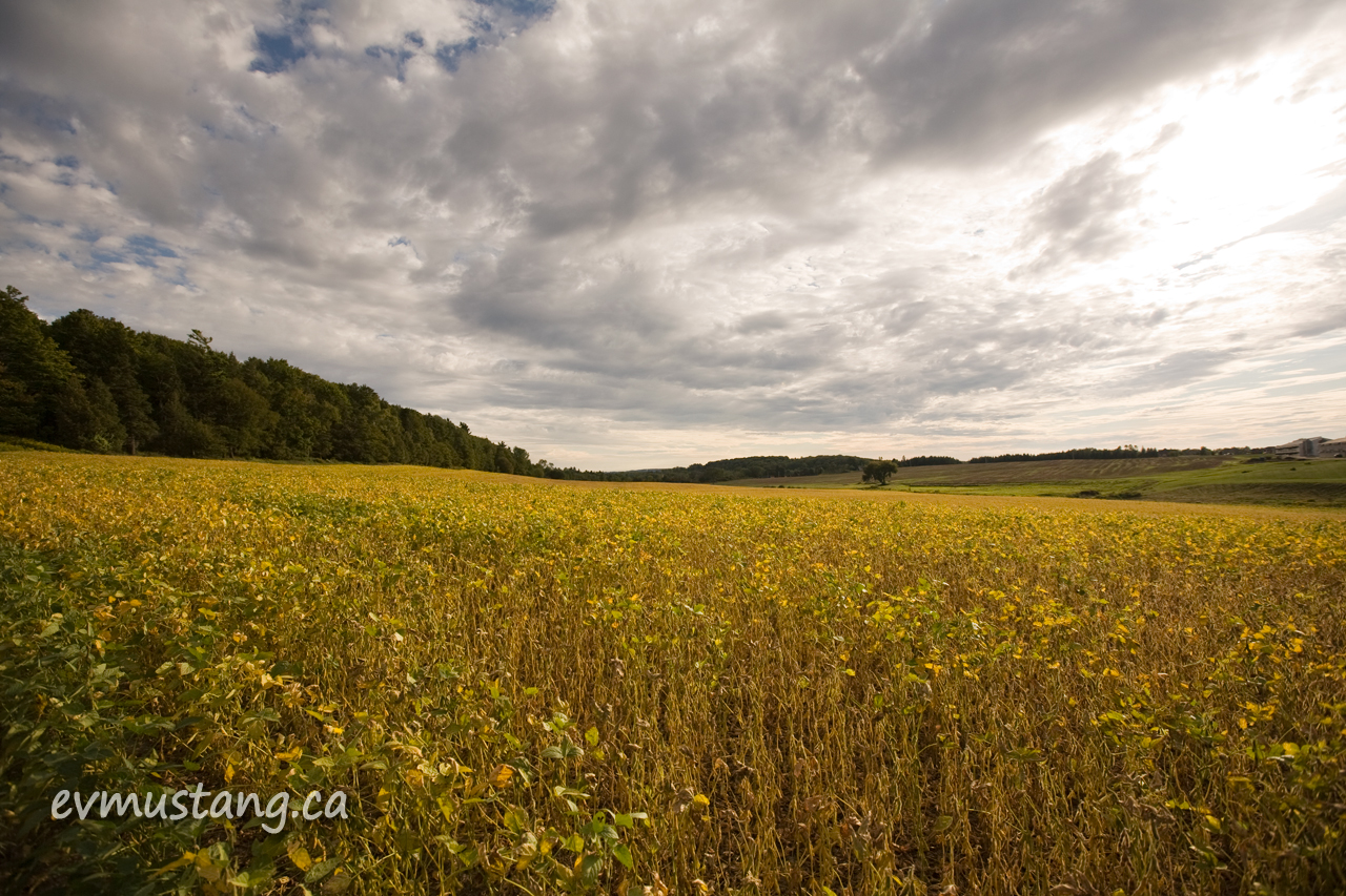 image of soy field under fall clouds