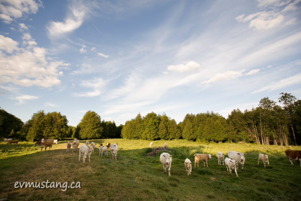 image of cows and calves in a summer field