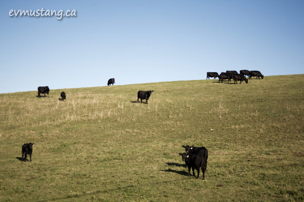 image of black cows on a hillside