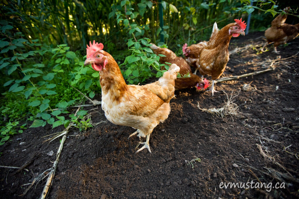 image of free range chickens scratching