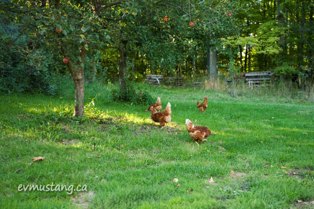 image of chickens scratching under an apple tree