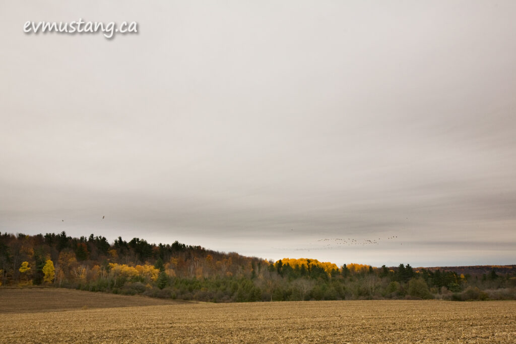 image of flock of geese over cleared autumn cornfield