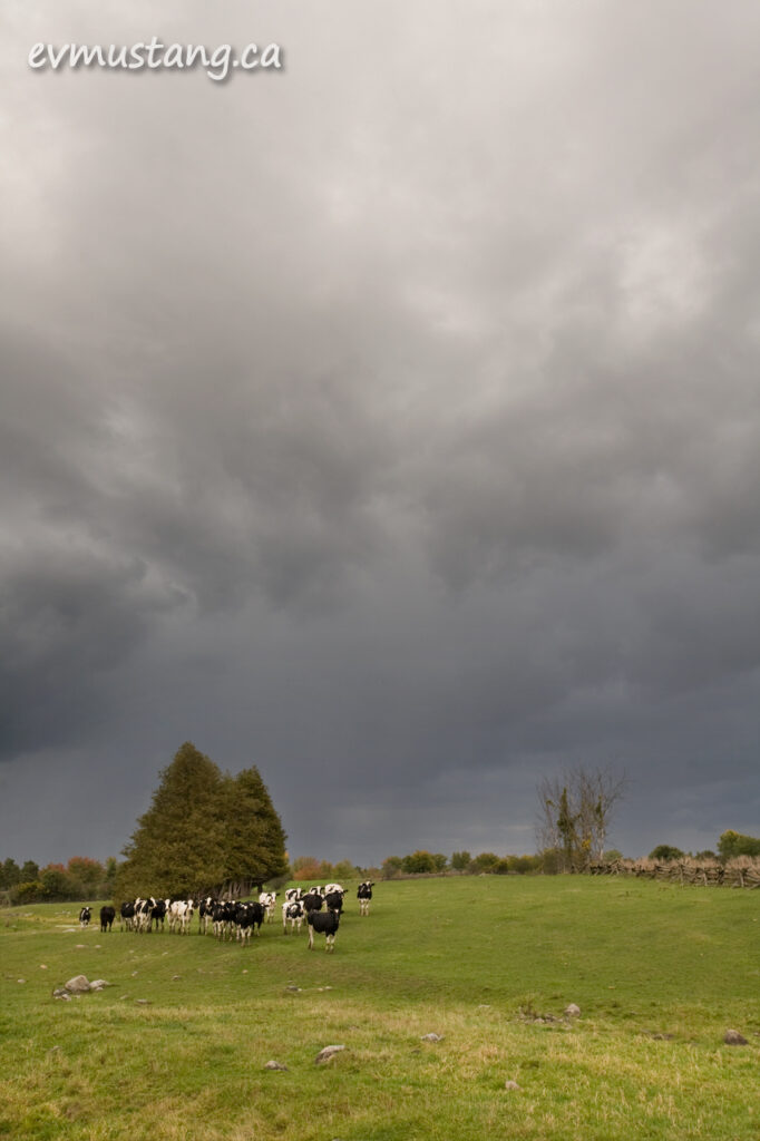 imafe of cows in field under rain clouds