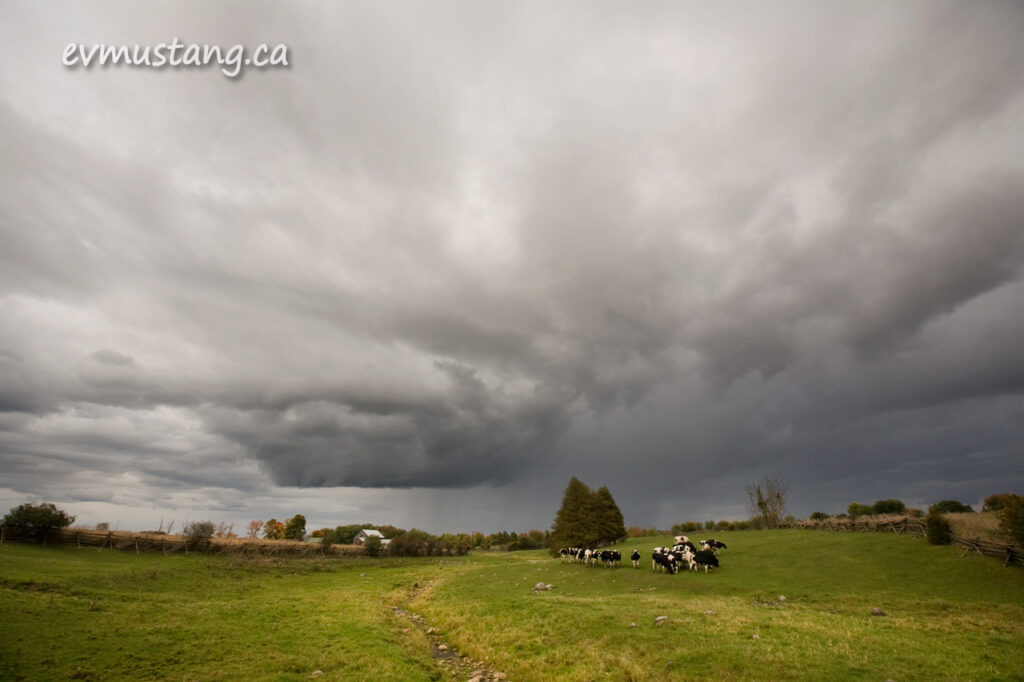 image of cows in field under rain clouds