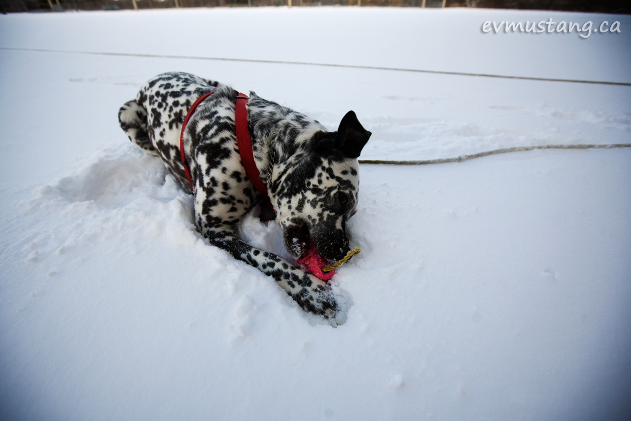image of dog in snow with toy