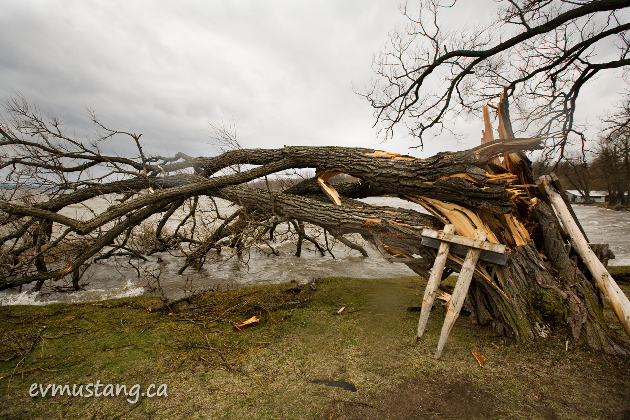 image of ice storm damaged tree at rice lake