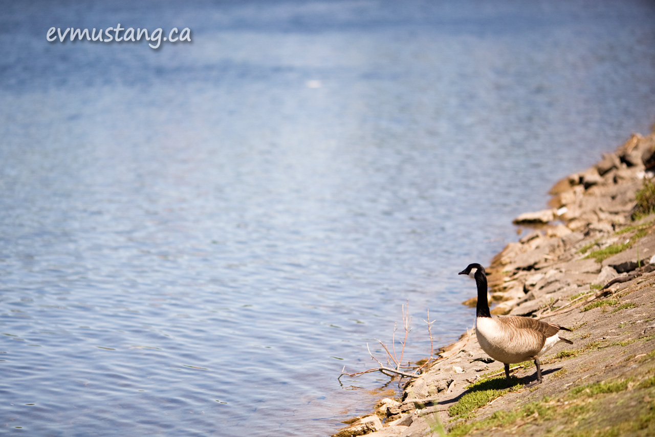 image of goose looking out over water