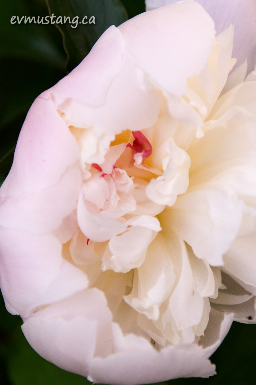 close up image of a peony