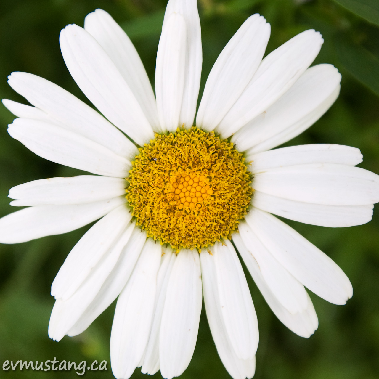 image of shasta daisy bloom