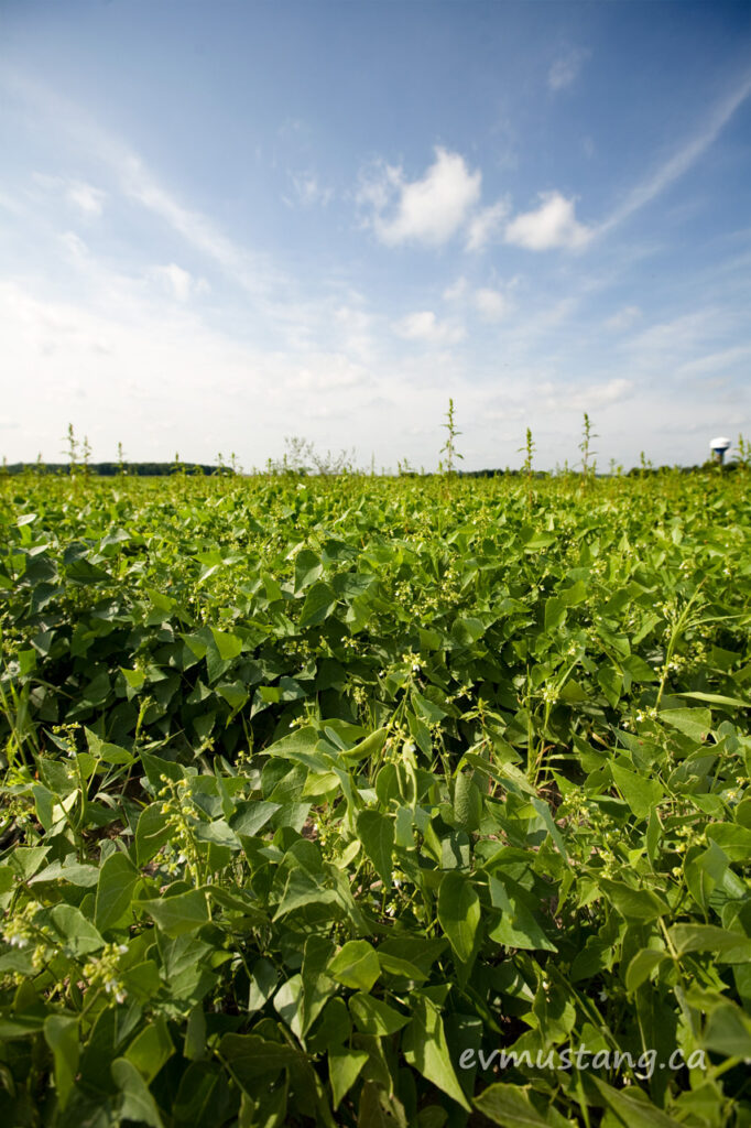 image of peas growing in a field