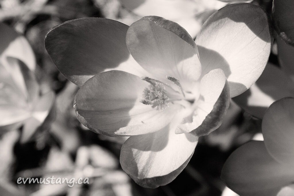 black and white image of crocuses (croci)