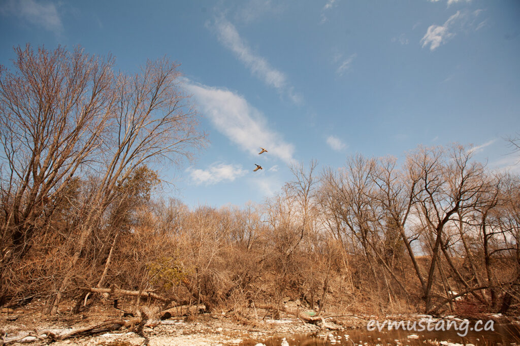 image of ducks taking of from a dry river in early spring under a blue sky