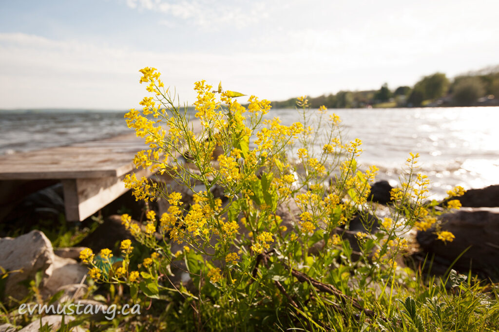 image of wild flower next to dock on rice lake ontario