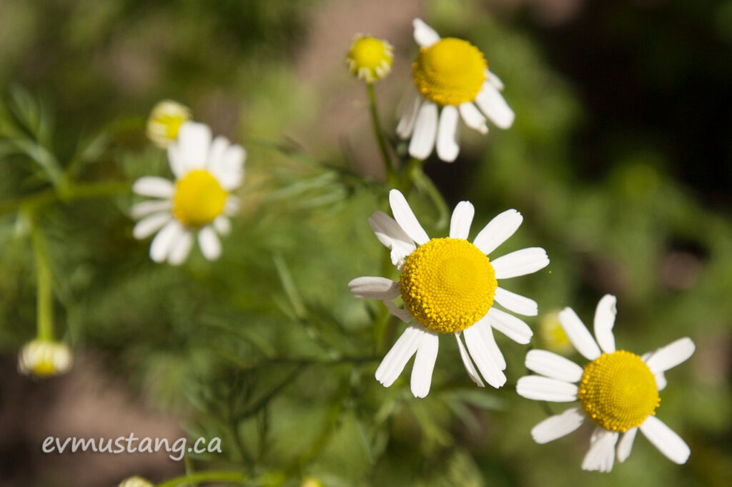 image of common chamomile