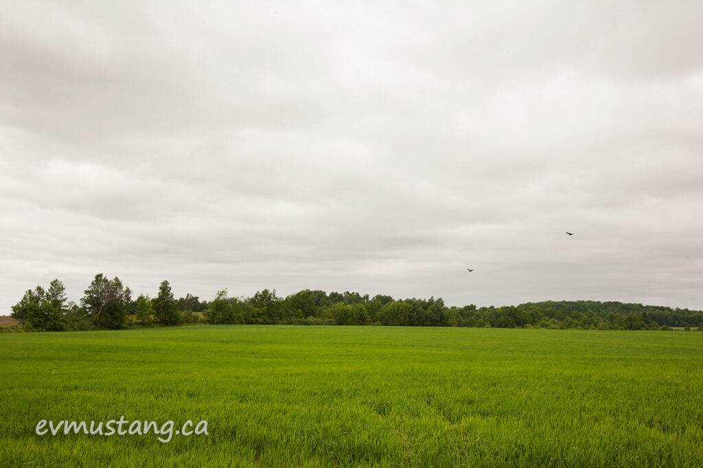 image of two turkey vultures flying over a green spring field under a deep gray rain cloud sky