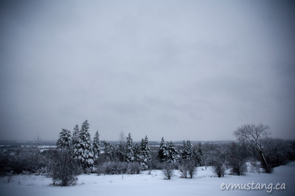 image of confers with fresh snow