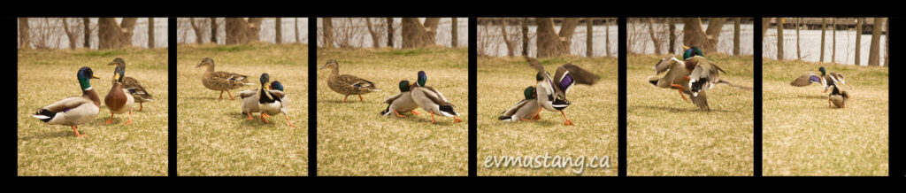 series of images of ducks engaged in battle