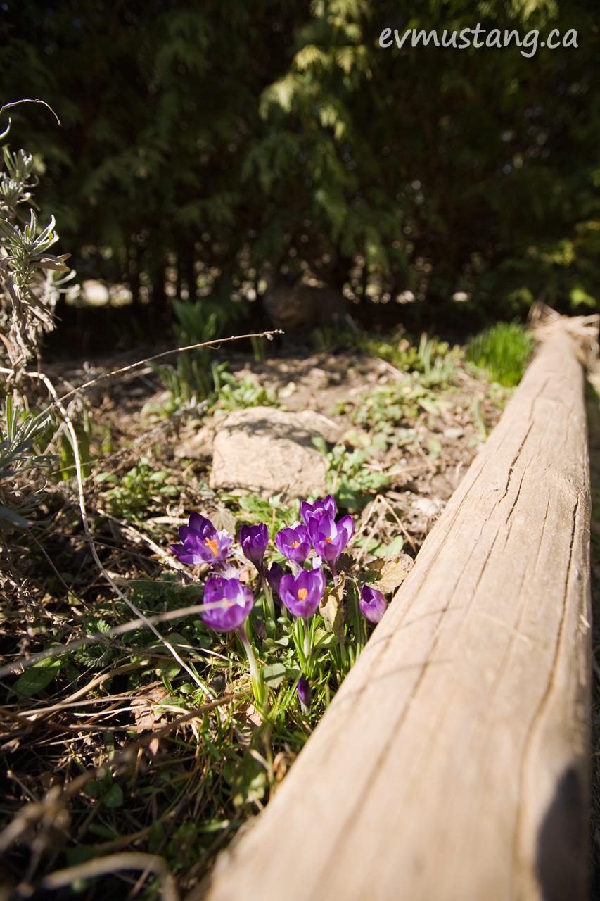 image of crocus in  garden