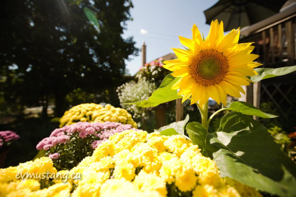 image of sunflower in backyard garden