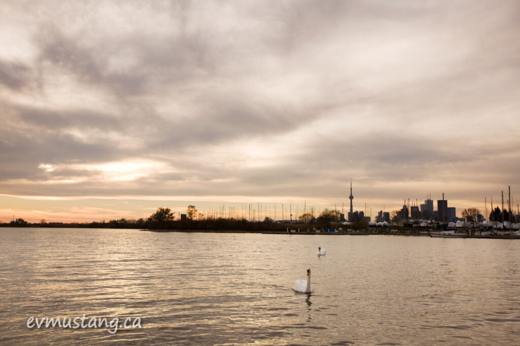 image of swans in front of toronto skyline