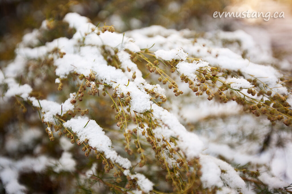 image of snow on artemesia