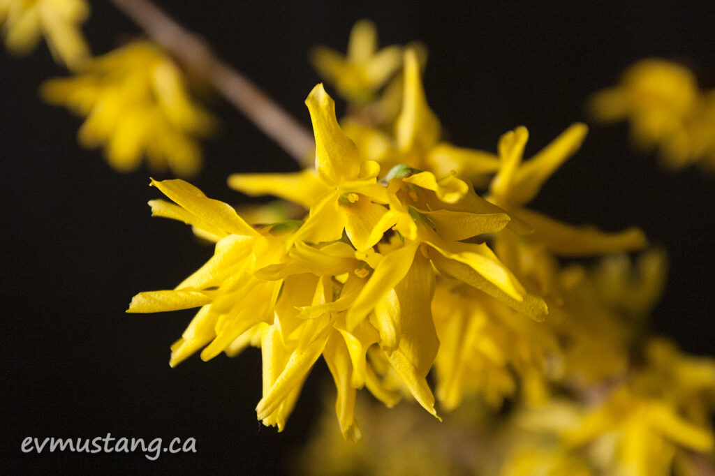image of a studio photograph of a forsythia