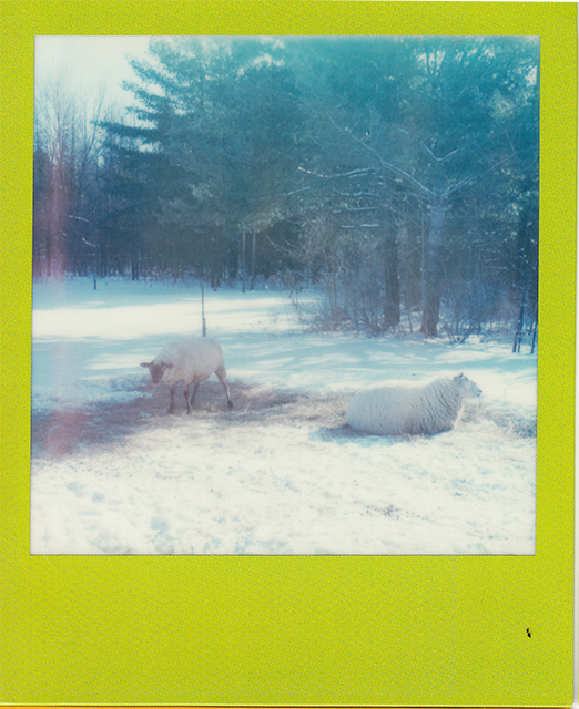 scan of a polaroid photograph of sheep resting in a snowy field